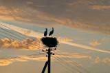 White Storks In Sunset