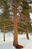 Tamarack Pine