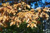 Oak leaves @f5.6 D700