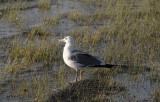 Seagull_at_Mono Lake.jpg