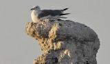 Seagull_on_Tufa.jpg