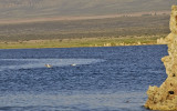 Mono_Lake_Seagulls.jpg