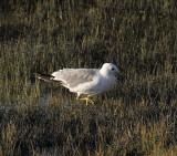 Walking_Gull.jpg
