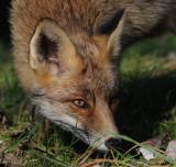 Red Fox - Vos