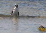 Magellanic Penguin - Spheniscus magellanicus