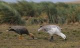 Upland Goose - Chloephaga picta leucoptera