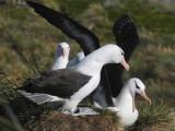 Black-browed Albatross-Thalassarche melanophris-Wenkbrauw Albatros