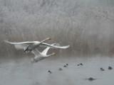 Whooper Swans - Wilde Zwaan - Cygnus