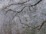white frost on  weeping-willow
