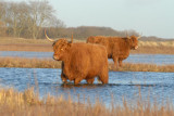Scottisch Highland Cattle