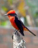 Aves de Lima