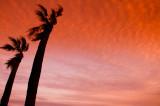 palm in the wind, Santa Monica Beach