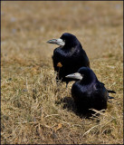 Rook, Råka  (Corvus frugilegus)..jpg