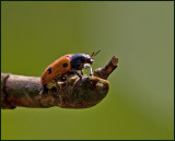 Säckbagge,   (Clytra quadripunctata).jpg
