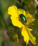Cryptocephalus, Fallbaggar
