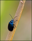 Alder Leaf-beetle, Blå allövbagge  (Agelastica alni).jpg