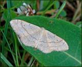 Swedish Geometrid Moths
