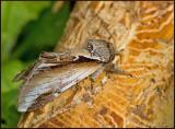 Lesser Swallow Prominent, Björkporslinsvinge   (Pheosia gnoma).jpg