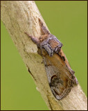 Pebble Prominent, Piltandvinge   (Notodonta ziczac).jpg