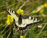 Swedish Papilionidae