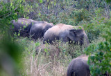 ELEPHANT - ASIAN ELEPHANT - KURI BURI NATIONAL PARK THAILAND (5).JPG