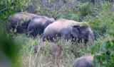 ELEPHANT - ASIAN ELEPHANT - KURI BURI NATIONAL PARK THAILAND (6).JPG