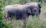 ELEPHANT - ASIAN ELEPHANT - KURI BURI NATIONAL PARK THAILAND (38).JPG
