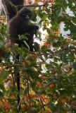 Tenasserim Langur (Presbytis barbei) Kaeng Krachan National Park Thailand