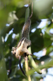RODENT - SQUIRREL - WESTERN STRIPED SQUIRREL - KAENG KRACHAN NP THAILAND (13).JPG