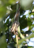 RODENT - SQUIRREL - WESTERN STRIPED SQUIRREL - KAENG KRACHAN NP THAILAND (16).JPG