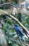 BIRD - ASIAN FAIRY-BLUEBIRD -  FEMALE - KAENG KRACHAN NP THAILAND (5).JPG