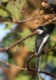 BIRD - BAR-WINGED FLYCATCHER SHRIKE - KAENG KRACHAN NP THAILAND (4).JPG