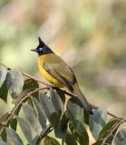 BIRD - BULBUL - BLACK-CRESTED BULBUL - KAENG KRACHAN NP THAILAND (7).JPG