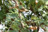 BIRD - BULBUL - STREAK-EARED BULBUL - MOUNTAIN BULBUL - KAENG KRACHAN NP THAILAND (3).JPG