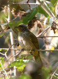 BIRD - BULBUL - STRIPE-THROATED BULBUL - KAENG KRACHAN NP THAILAND (1).JPG