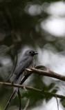 BIRD - DRONGO - ASHY DRONGO - KAENG KRACHAN NP THAILAND (9).JPG