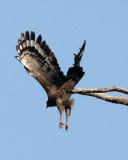 BIRD - EAGLE - CRESTED SERPENT EAGLE - KAENG KRACHAN NP THAILAND (20).JPG