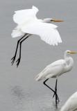 BIRD - EGRET - GREAT EGRET - PETCHABURI PROVINCE, PAK THALE (13).JPG