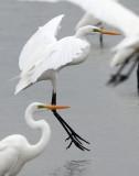 BIRD - EGRET - GREAT EGRET - PETCHABURI PROVINCE, PAK THALE (15).JPG