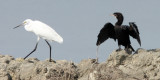 BIRD - EGRET - LITTLE EGRET AND LITTLE CORMORANT - PETCHABURI PROVINCE, PAK THALE (1).JPG