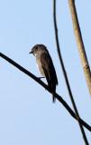 BIRD - FLCATCHER - DARK-SIDED FLYCATCHER - KAENG KRACHAN NP THAILAND (12).JPG