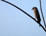 BIRD - FLCATCHER - DARK-SIDED FLYCATCHER - KAENG KRACHAN NP THAILAND (9).JPG