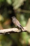 BIRD - FLYCATCHER - RED-THROATED FLYCATCHER - KAENG KRACHAN NP THAILAND (23).JPG