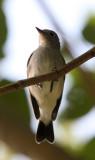 BIRD - FLYCATCHER - RED-THROATED FLYCATCHER - KAENG KRACHAN NP THAILAND (4).JPG