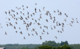 BIRD - GREAT KNOT - PETCHABURI PROVINCE, PAK THALE (2).JPG