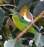 BIRD - LEAFBIRD - BLUE-WINGED LEAFBIRD -  KAENG KRACHAN NP THAILAND (2).JPG