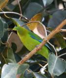 BIRD - LEAFBIRD - BLUE-WINGED LEAFBIRD -  KAENG KRACHAN NP THAILAND (7).JPG