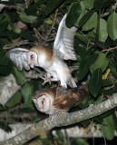 BIRD - OWL - GRASS OWL - KURI BURI NATIONAL PARK THAILAND (1).JPG