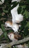 BIRD - OWL - GRASS OWL - KURI BURI NATIONAL PARK THAILAND (2).JPG
