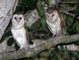 BIRD - OWL - GRASS OWL - KURI BURI NATIONAL PARK THAILAND (6).JPG